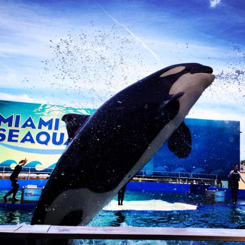 orca en sea aquarium miami